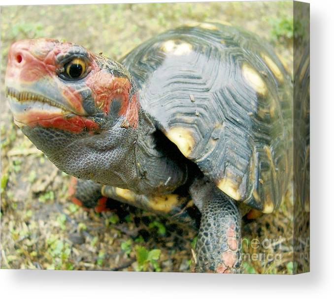 Tortoise Canvas Print featuring the photograph Cherry Head by Richard Brooks