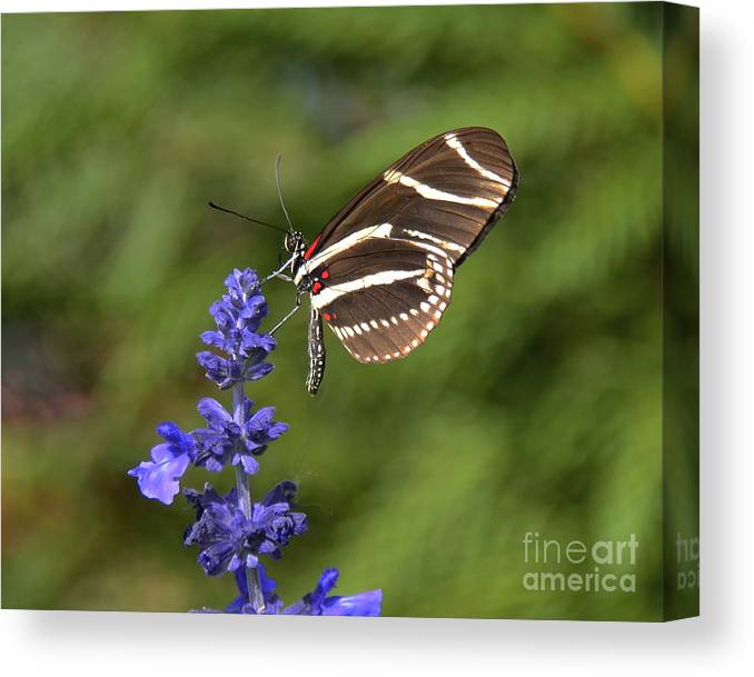 Zebra Longwing Canvas Print featuring the photograph Florida State Butterfly by Carol Bradley