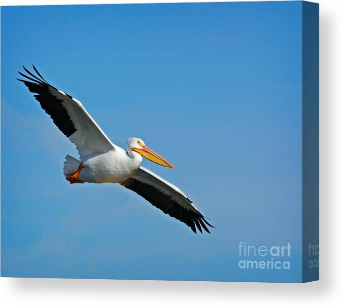 Pelican Canvas Print featuring the photograph Flying High by David Cutts