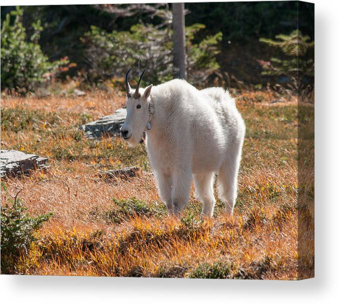 Hidden Lake Trail Canvas Print featuring the photograph Mountain Goats Of Glacier by Brenda Jacobs