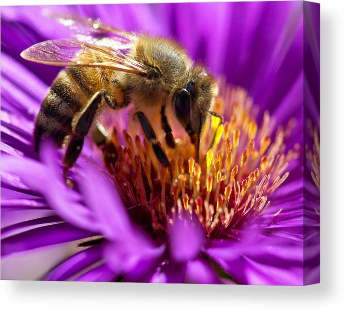 Bee Canvas Print featuring the photograph Aster Bee by Vicki Jauron