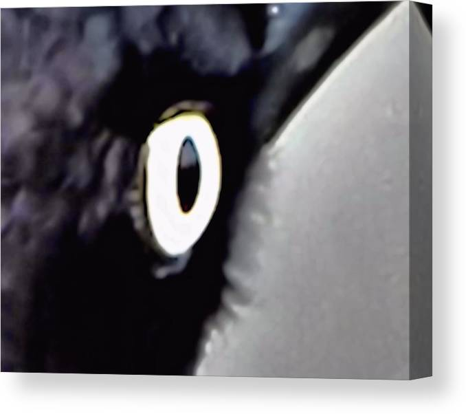 Brewers Black Bird Eye Canvas Print featuring the photograph Brewers Black Bird Eye by Don Mann
