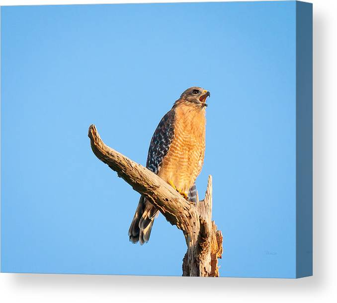 5623 Canvas Print featuring the photograph Hawk Screaming by Marx Broszio
