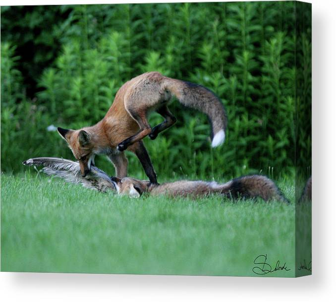 Kits Fighting Over Food Canvas Print featuring the photograph Leap Of Faith by Sarah Lalonde