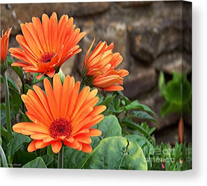 Daisy Photos Canvas Print featuring the photograph Orange Gerber Daisy by Tammy Ishmael - Eizman