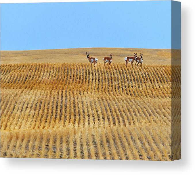 Pronghorn Canvas Print featuring the photograph Prairie Pronghorns by Tony Beck