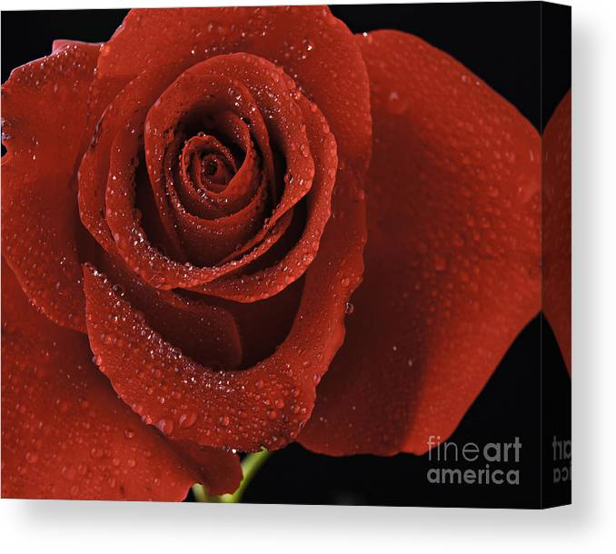 Water Drops Red Rose Flower Framed Print Canvas Print featuring the photograph Red Rose With Water Drops by M K Miller