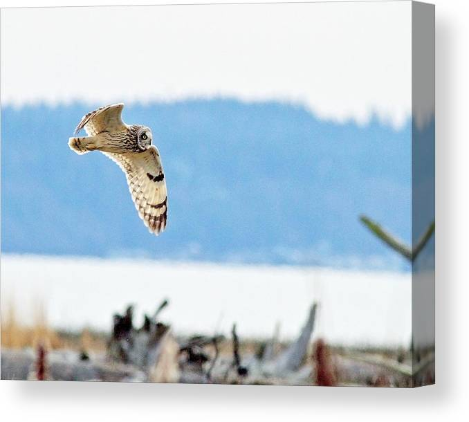 Owl Canvas Print featuring the photograph Short Eared Owl Hunting by Daryl Hanauer