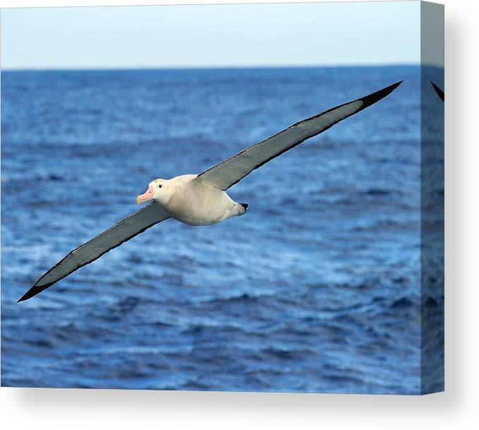 World S Longest Wingspan Canvas Print Canvas Art By Tony Beck