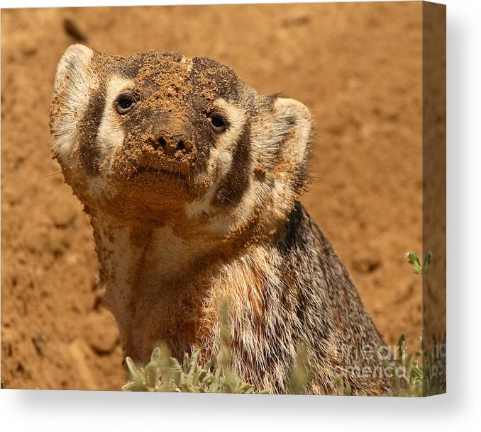Badger Canvas Print featuring the photograph Badger Covered In Dirt From Digging by Max Allen