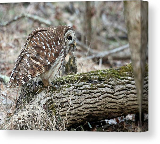 Owl Canvas Print featuring the photograph Barred Dinner by Gina Fitzhugh
