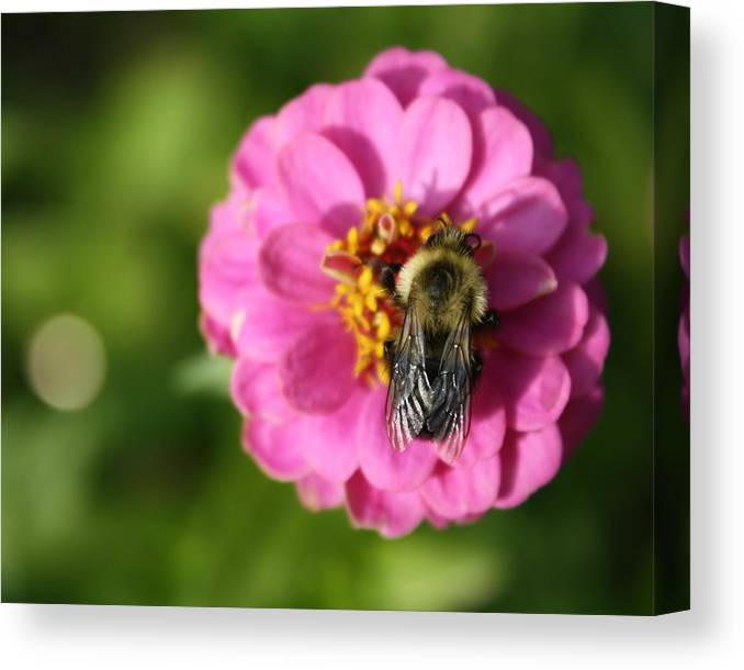 Bee Canvas Print featuring the photograph Before The Frost by Annie Babineau