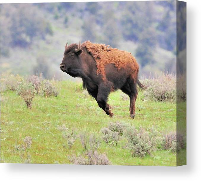 Canvas Print featuring the photograph Bison In Flight by John R Young Jr