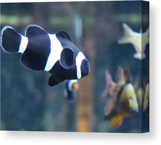 Fish Canvas Print featuring the photograph Black Clown Fish by Aimee Galicia Torres