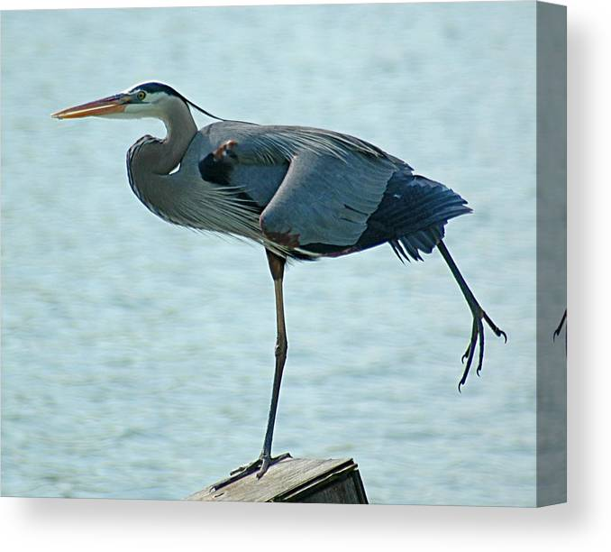 Blue Heron Canvas Print featuring the photograph Blue Heron Stretching by Bob Guthridge