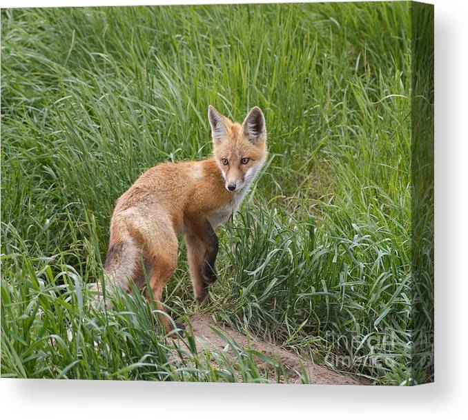 Red Fox Canvas Print featuring the photograph Checking The Perimeter by Royce Howland