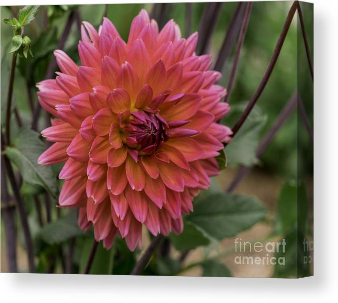 Connecticut Canvas Print featuring the photograph Dahlia In Bloom 19 by Joe Geraci