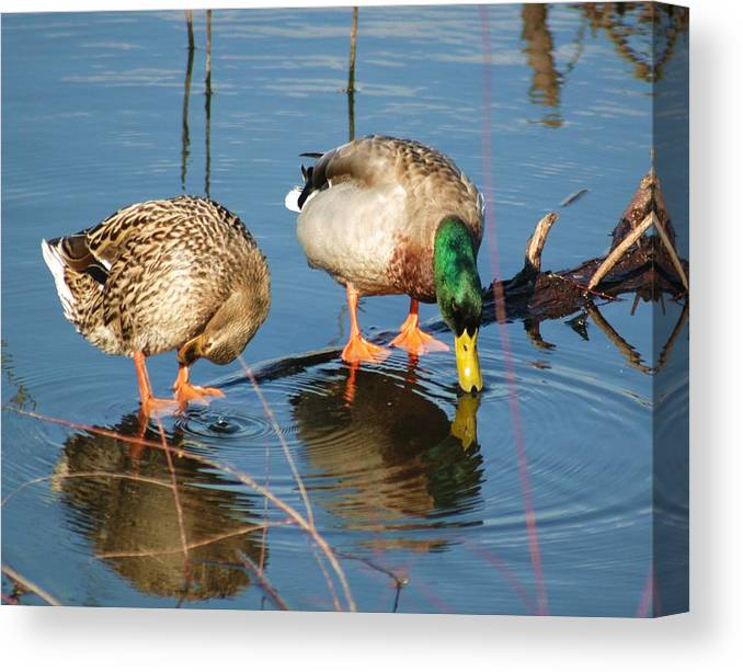 Ducks Canvas Print featuring the photograph Date For Drinks by Bob Guthridge