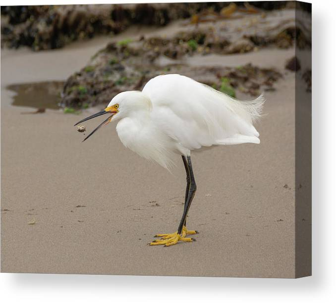 Egret Canvas Print featuring the photograph Down The Hatch by Bruce Frye