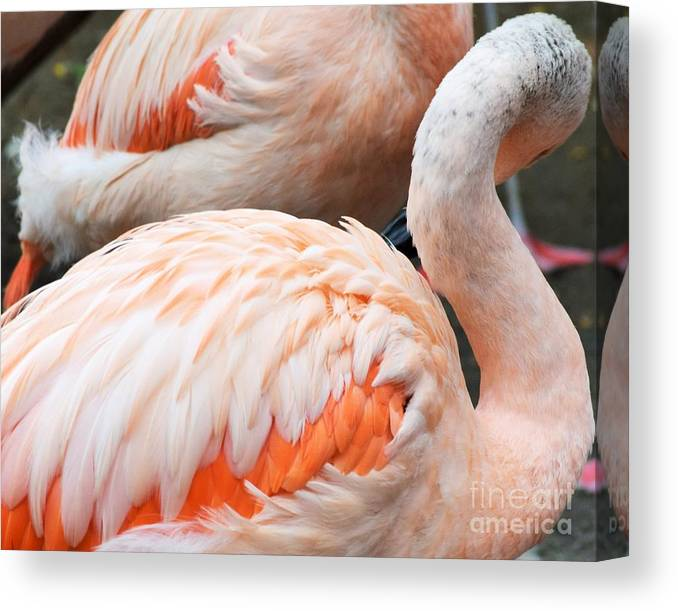 Birds Canvas Print featuring the photograph Feathers Of Flamingo by Lkb Art And Photography
