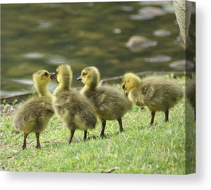 Goslings Canvas Print featuring the photograph Gossiping Goslings by Bob Guthridge