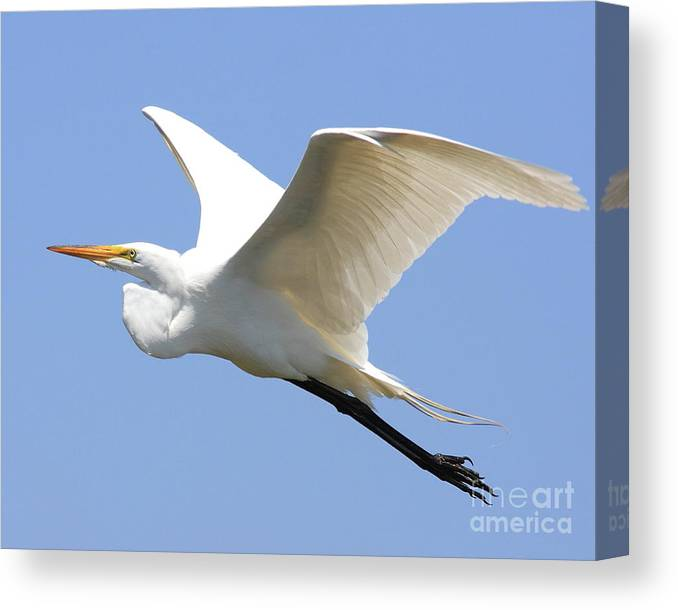 Bird Canvas Print featuring the photograph Great White Egret In Flight . 40d6845 by Wingsdomain Art and Photography