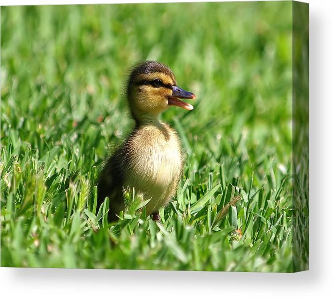 Duckling; Duck; Mallard; Mallard Duckling; Baby; Baby Duckling; Baby Mallard; Cottonwood Park; Richardson Texas; Aquatic Bird; Aquatic; Water Fowl Canvas Print featuring the photograph Happy Lil Duck by Kala King
