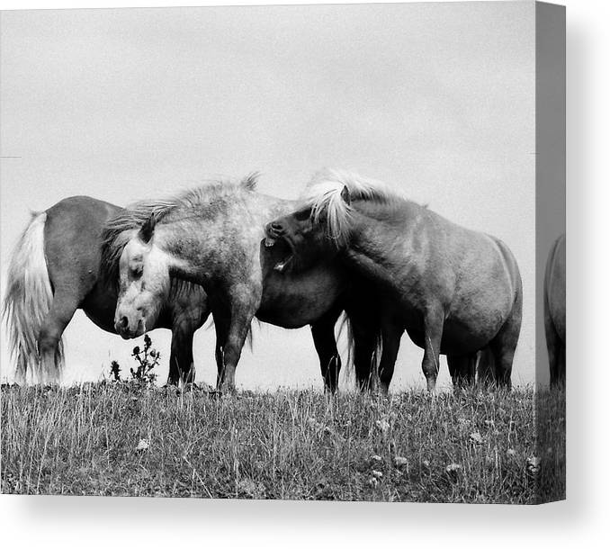 Canvas Print featuring the photograph Horses 3 by Stephen Harris