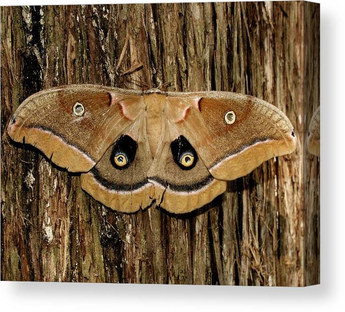 Moth Canvas Print featuring the photograph Moth On Cedar Tree by Bob Guthridge