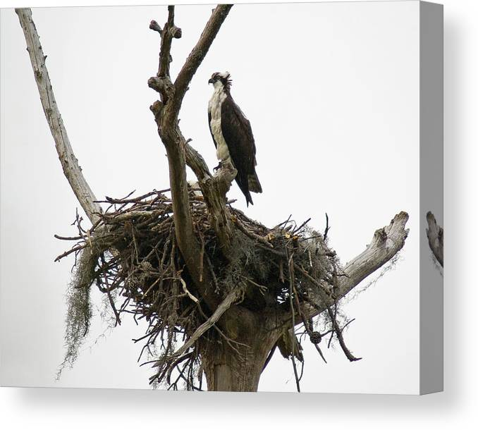 Osprey Canvas Print featuring the photograph Osprey On Guard by Alan Raasch