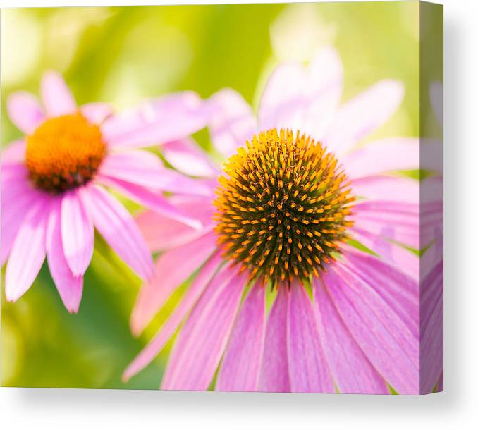 Echinacea Canvas Print featuring the photograph Simple Treasures by Lisa McStamp