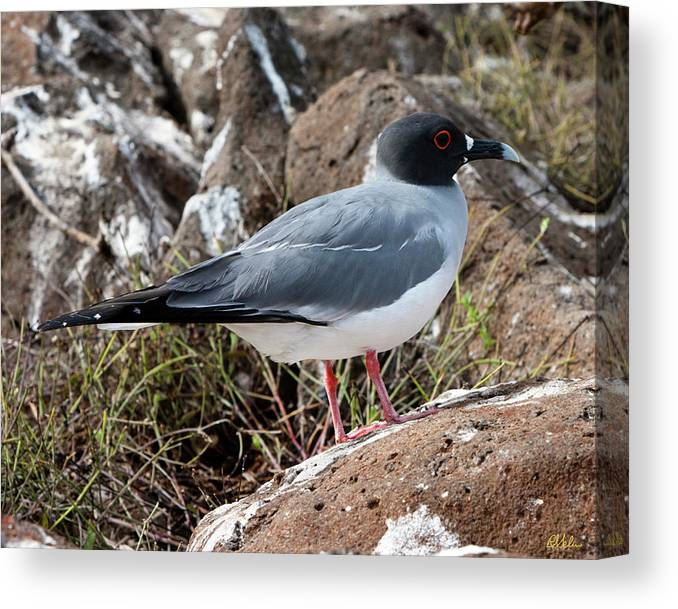 Swallow-tail Gull Canvas Print featuring the photograph Swallow-tail Gull by Robert Selin