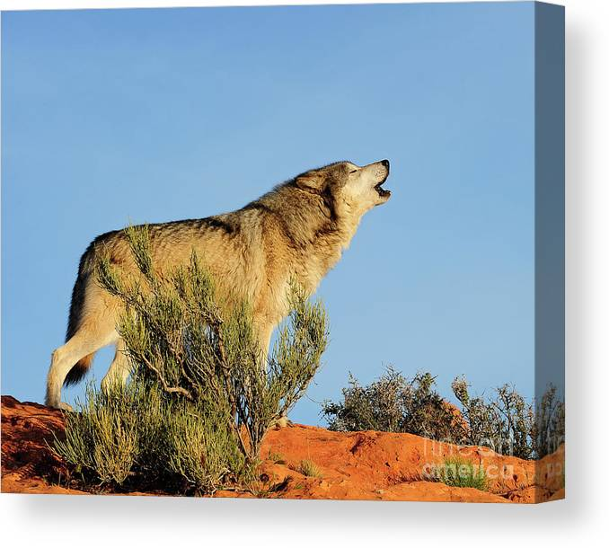 Wolf Canvas Print featuring the photograph Tundra Wolf by Dennis Hammer