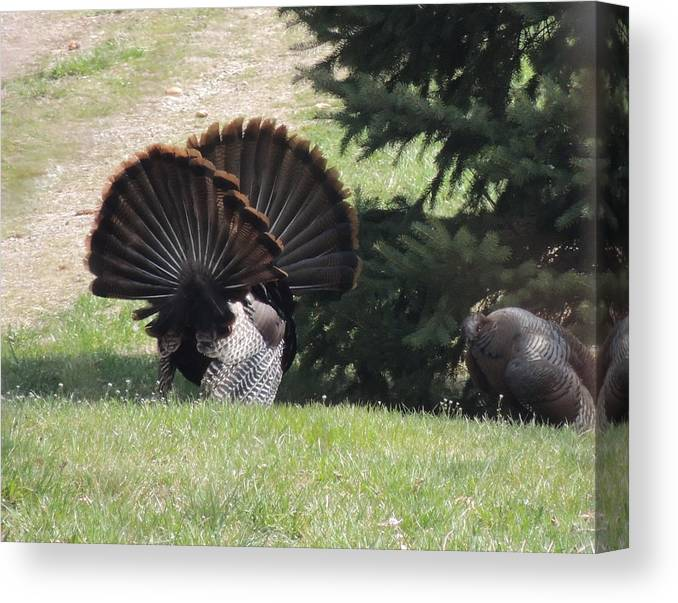Wild Canvas Print featuring the photograph Two Tom Wild Turkeys Sparring To Impress A Hen by Joe Lee