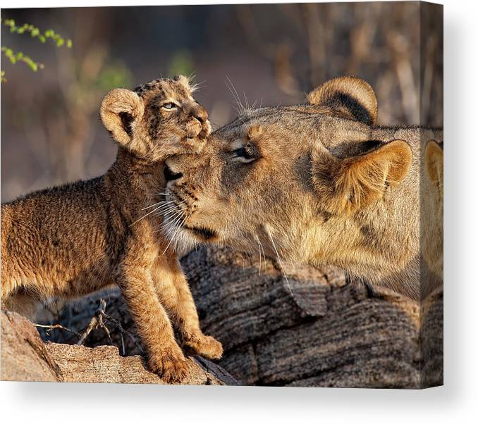 Kenya Canvas Print featuring the photograph A Female Lion Panthera Leo And Her Cub by Annie Katz