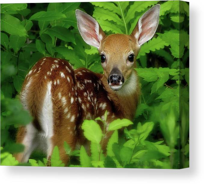 Fawn Canvas Print featuring the photograph Fawn by Jerry LoFaro