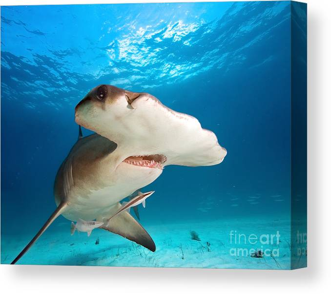 Big Canvas Print featuring the photograph Great Hammerhead by Frantisekhojdysz