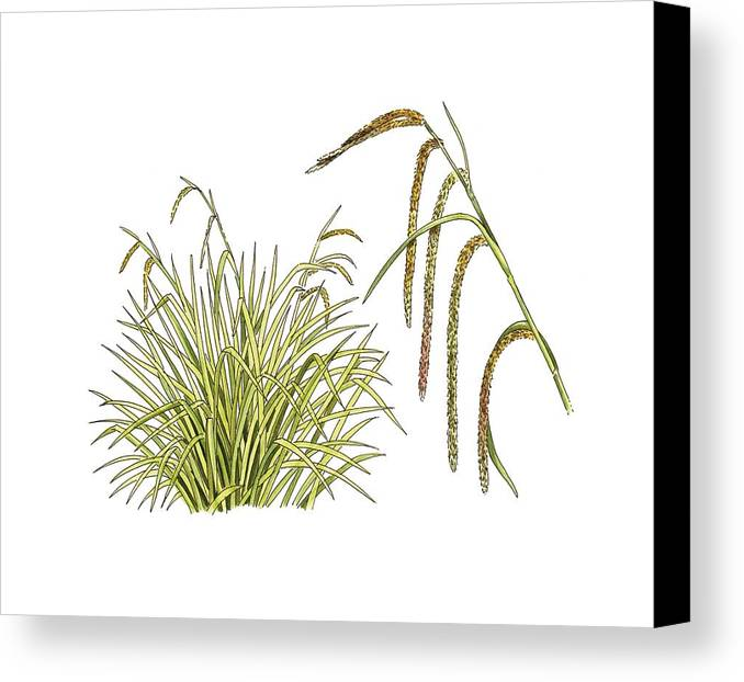 Cutout Canvas Print featuring the photograph Pendulous Sedge (carex Pendula) by Science Photo Library