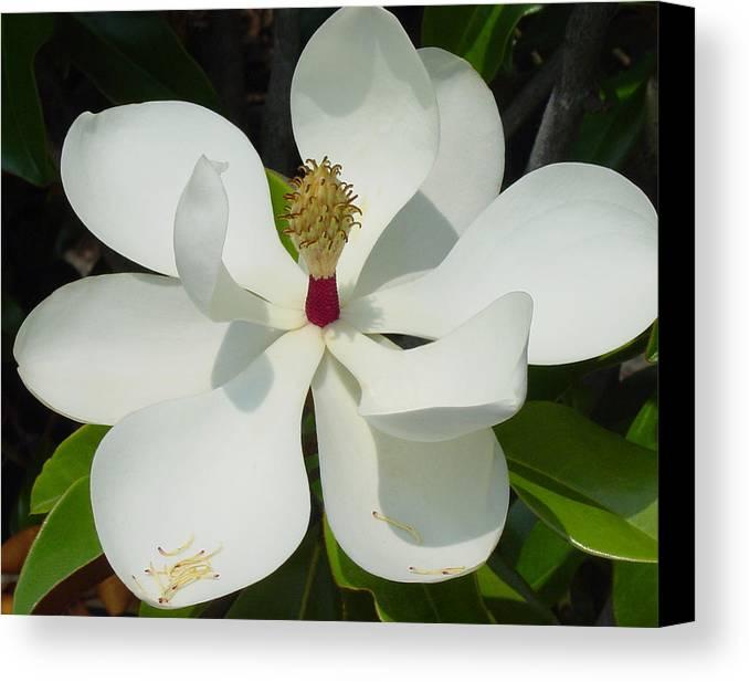 Magnolia Grandiflora Canvas Print featuring the photograph Magnolia II by Suzanne Gaff