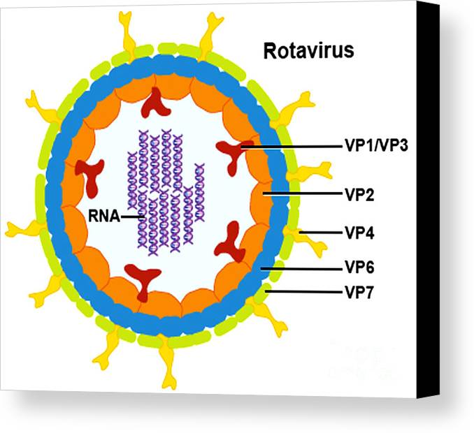 Microbiology Canvas Print featuring the photograph Rotavirus by Science Source