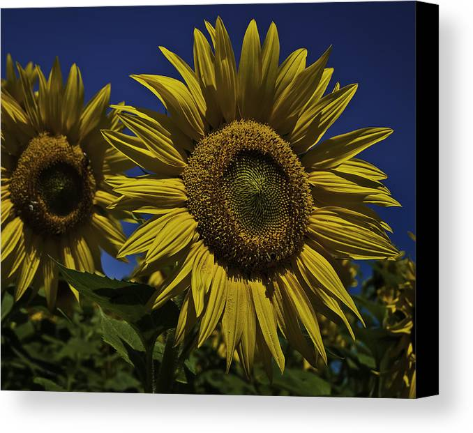 Sunflower Canvas Print featuring the photograph You Are My Sunshine by Nigel Jones