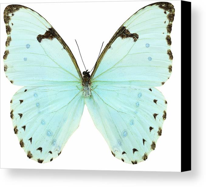 Horizontal Canvas Print featuring the photograph Close-up Of A White Butterfly by Stockbyte