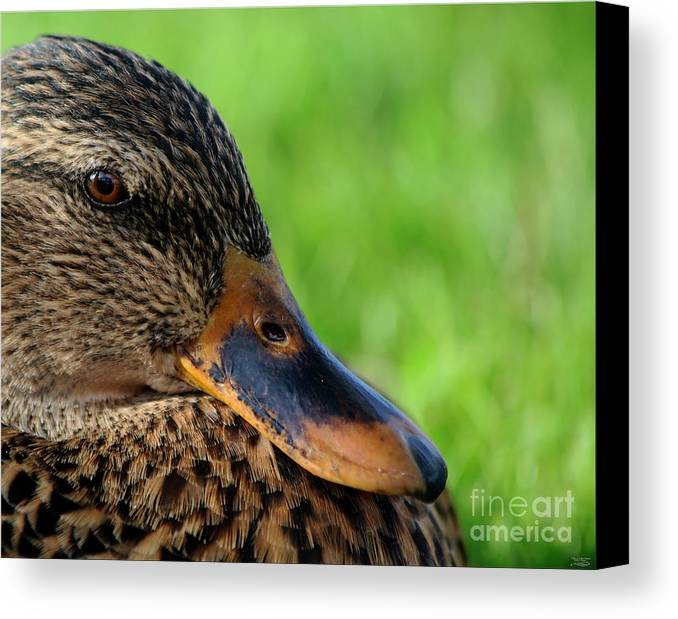 Mallard Canvas Print featuring the photograph Ducky Up Close And Personal by Rebecca Morgan