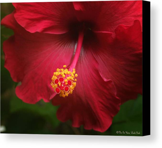 Hibiscus Flower Flowers Plants Blooms Garden Floral Canvas Print featuring the photograph Hibiscus by Linda Ebarb
