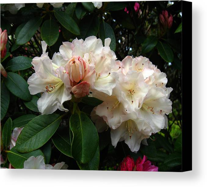 Rhododendrons Canvas Print featuring the photograph Rhododendrons IIi by Aliza Souleyeva-Alexander