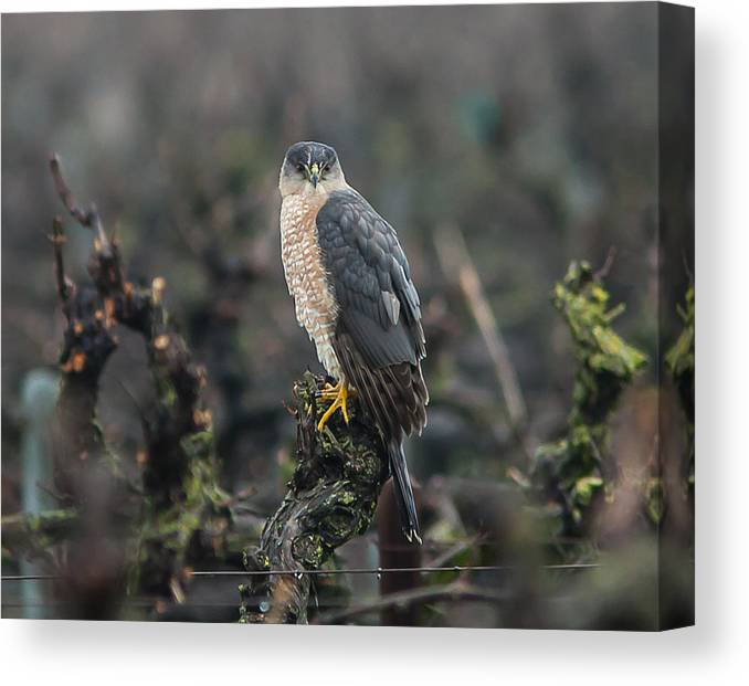 Hawk Canvas Print featuring the photograph Coopers Hawk by Brian Williamson