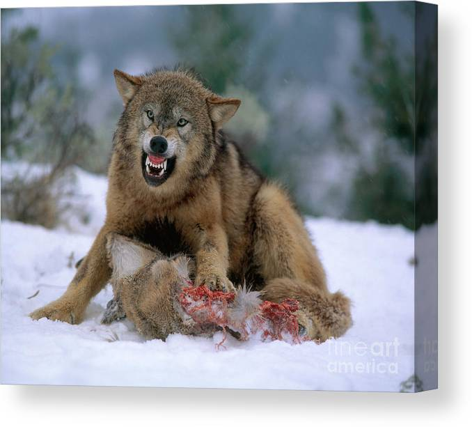 Gray Wolf Canvas Print featuring the photograph Timber Wolf by Hans Reinhard
