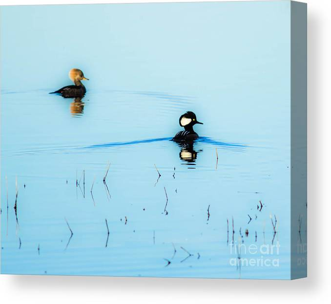 Ducks Canvas Print featuring the photograph Floating And Glowing by Ursula Lawrence