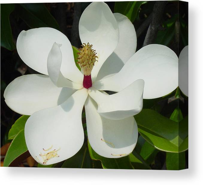 Magnolia Grandiflora Canvas Print featuring the photograph Magnolia II by Suzanne Gaff