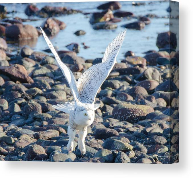 Owl Canvas Print featuring the photograph Beach Take Off by Judd Nathan